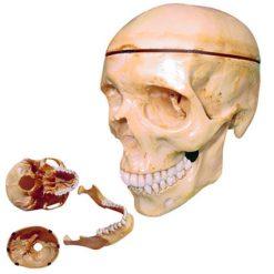 Macro Modelo Crânio Anatômico Para Odontologia e Bucomaxilofacial